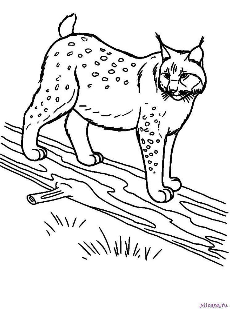 Раскраска рысь 4