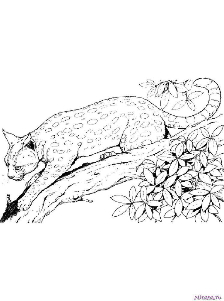 Раскраска рысь 6