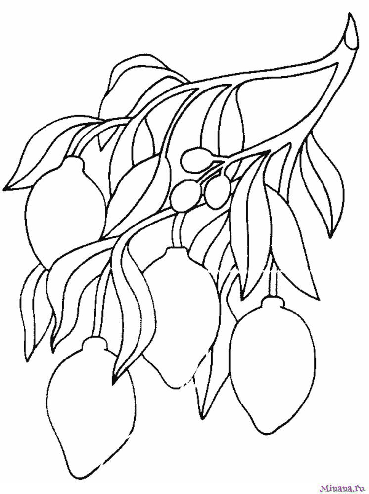 Раскраска лимоны на ветке