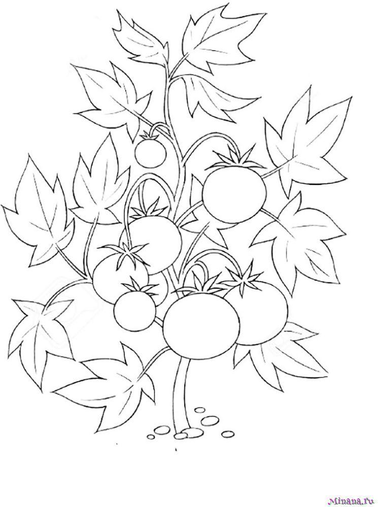 Раскраска помидоры 4