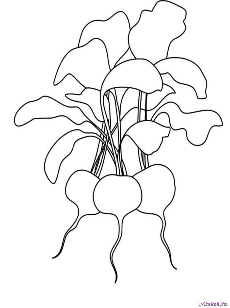 Раскраска редис