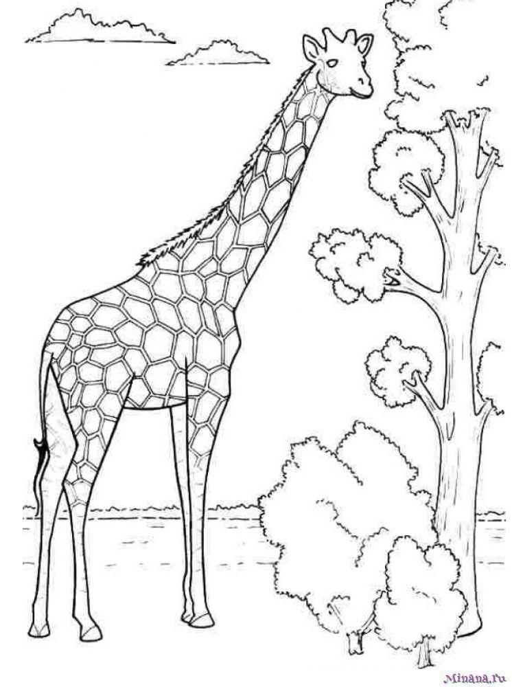 Раскраска большой жираф