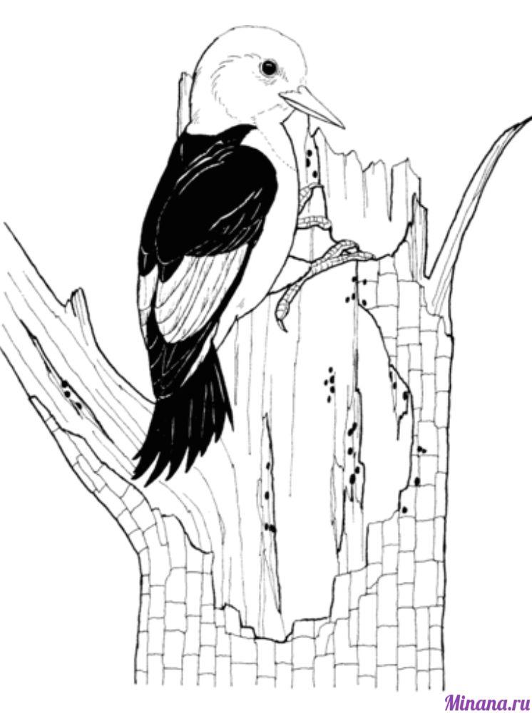 Раскраска дятел 6
